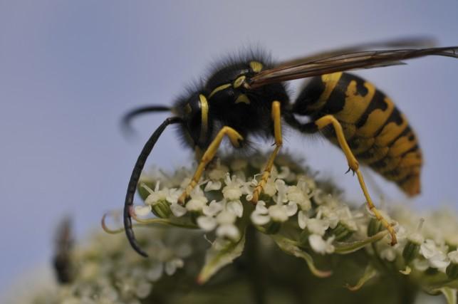 Hvepse er ikke skadedyr